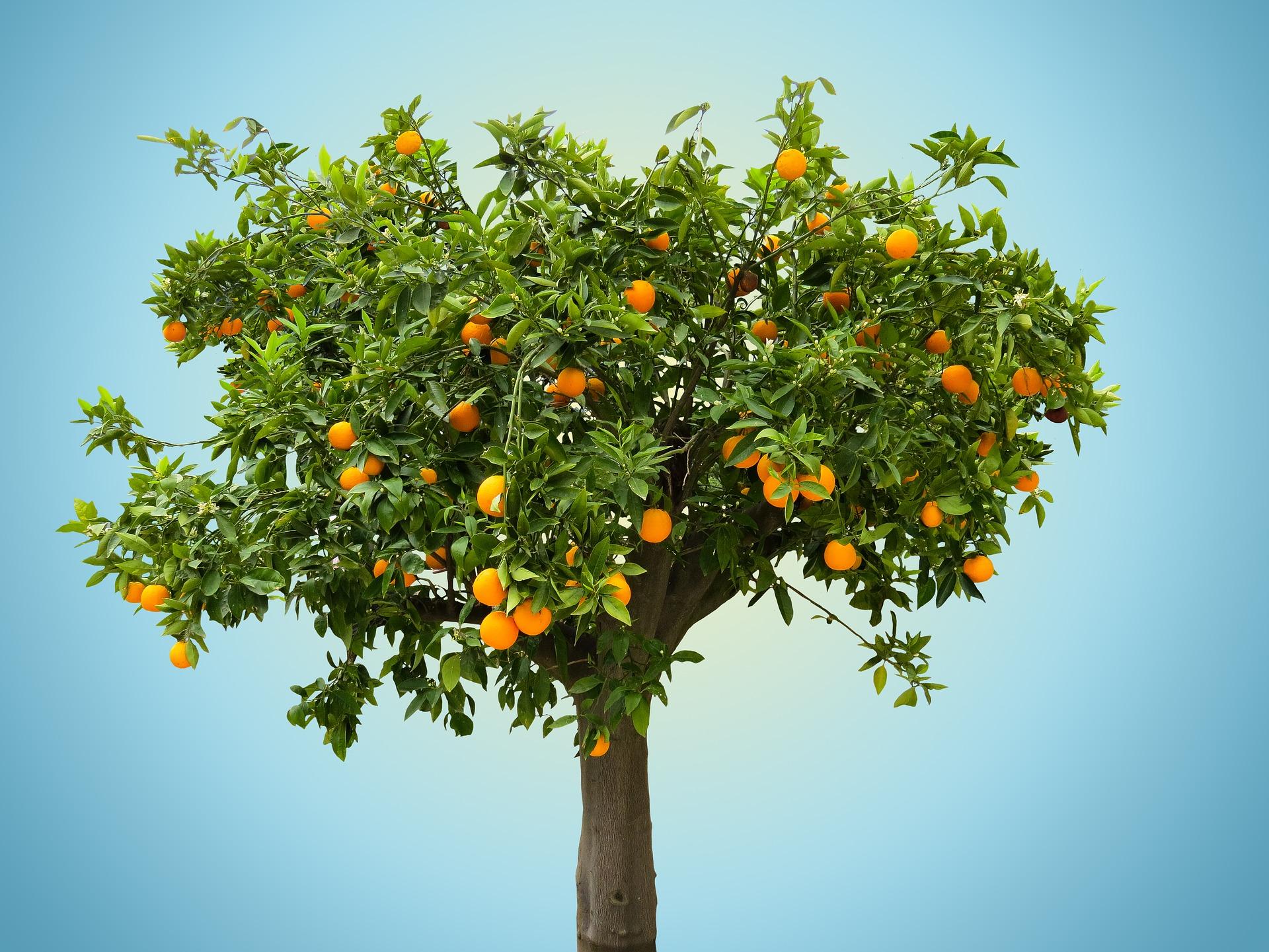 Novo produto para prevenção da queda dos frutos em